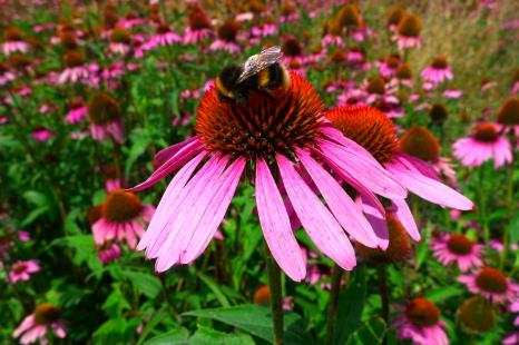 Echinacea bumble bee