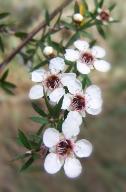 Manuka Oil as an Alternative to Antibiotic Creams – Herb Blurb