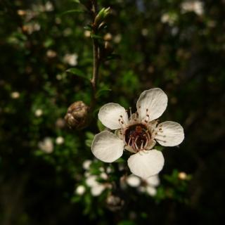 manuka-flower-macro