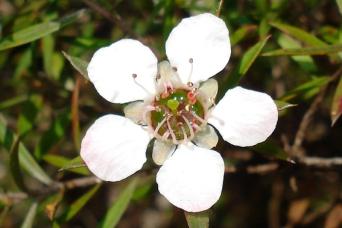smaller-leptospermum-scoparium-flower-manuka-flower-july