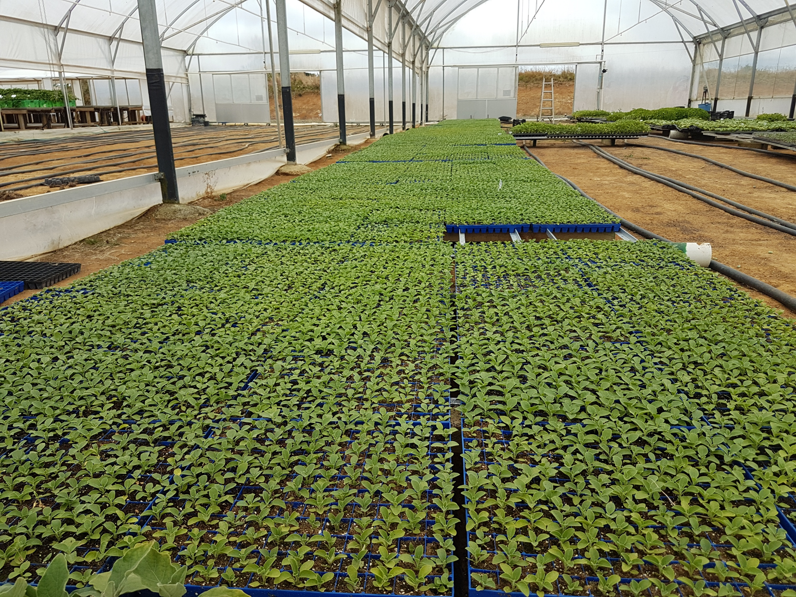 withania seedlings 2016